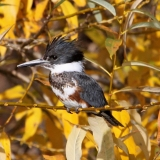 Belted Kingfisher in Riparian Willow-Allen Bertke