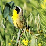 Common Yellowthroat-Allen Bertke