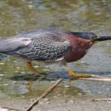 Green Heron, Lake Casitas-Allen Bertke