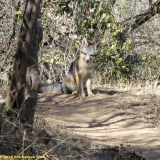 Grey Fox on Fox Canyon Trail-Bardley Smith