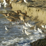 Marbled Godwits, Sanderlins, and Egrets Feed-Dave Hubbard