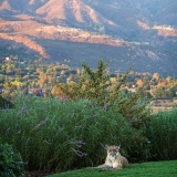 Mountain Lion Visits Sulphur Mntn-Fred Rothenberg